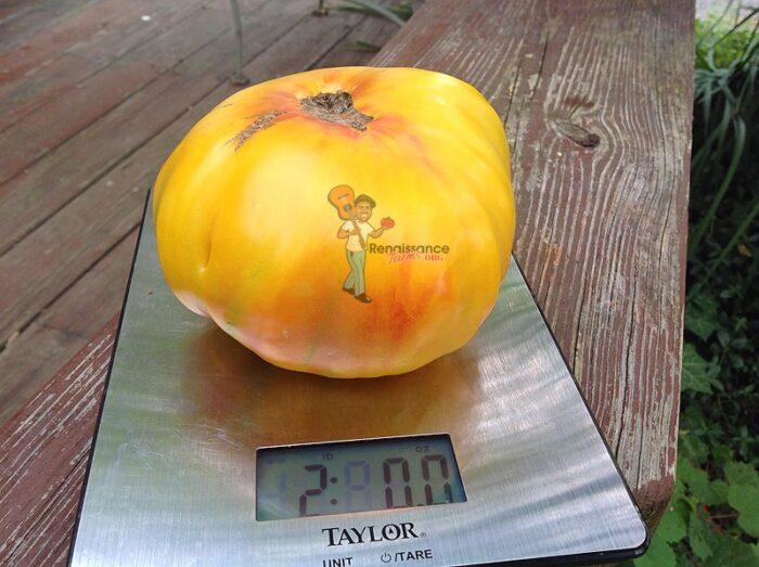 2 Pound Gold Medal Tomato
