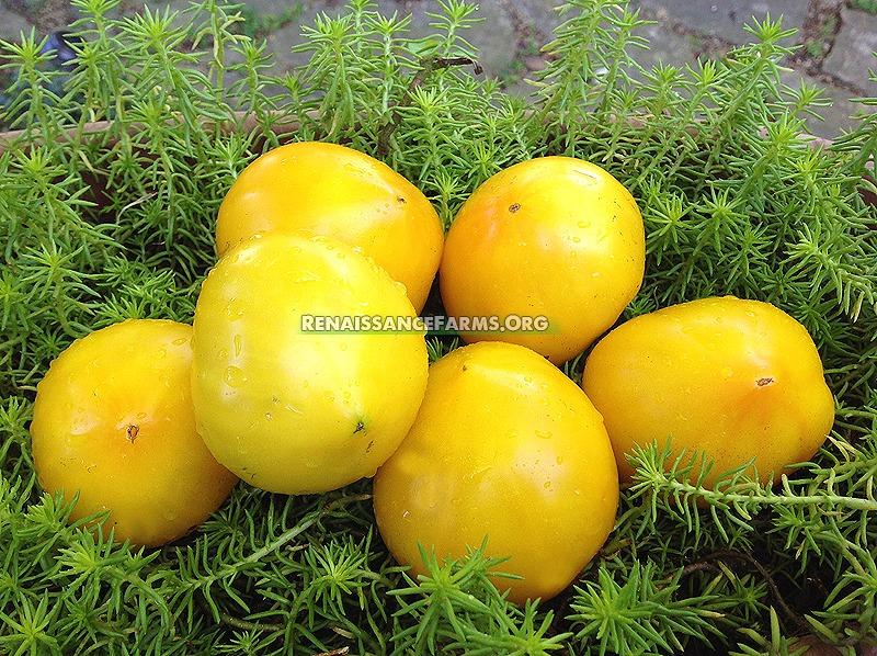 Anna Banana Russian Tomatoes