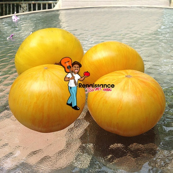 Big Yellow Zebra Tomato Seeds