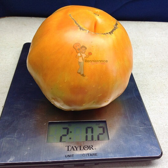 Claude Brown's Yellow Giant Tomato