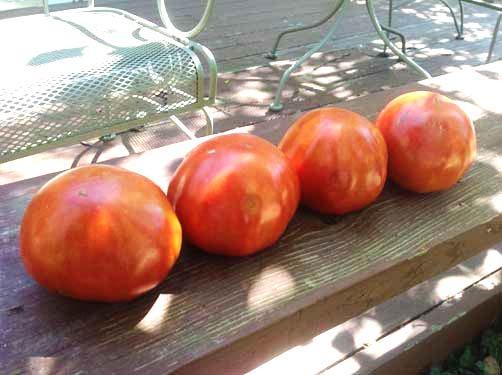 Cuostralee-Tomato-Harvest