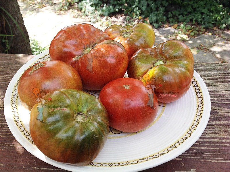 Maralinga Dwarf Tomato 2018