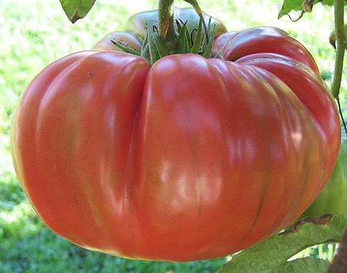 Pink Brandywine Tomato