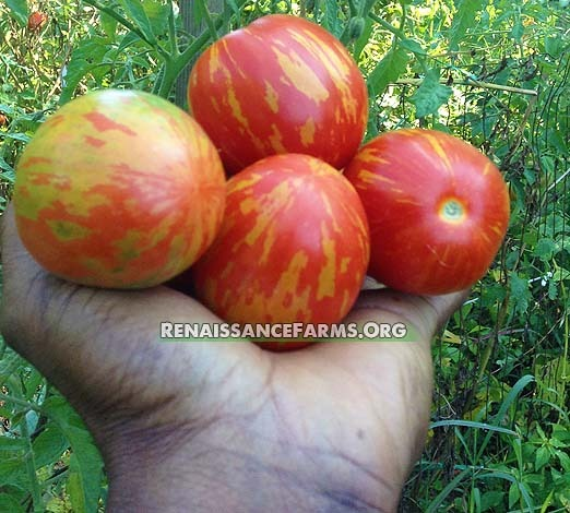 Seeds from Russia. Tomato Crazy Queen F1