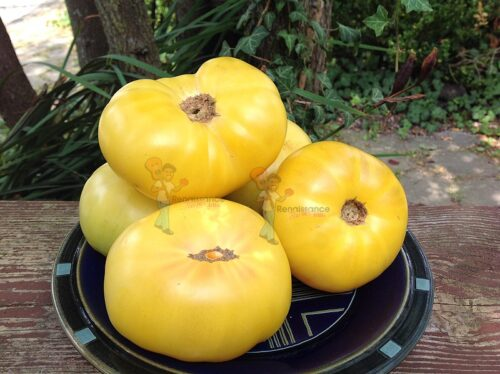 Summer Sunrise Dwarf Tomato