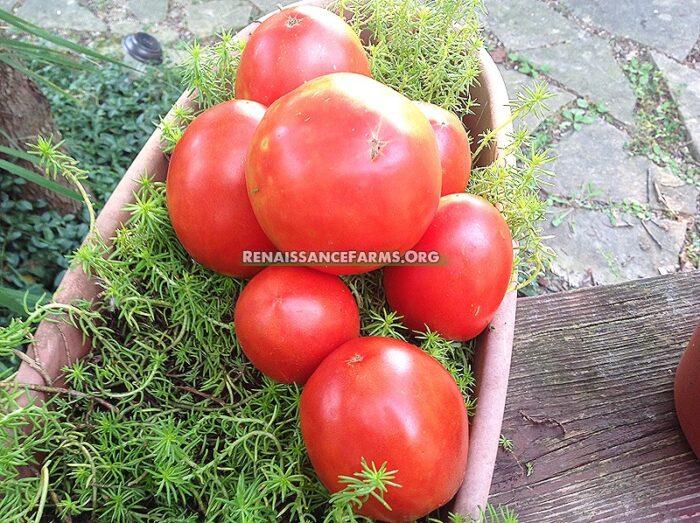 Tomato-Amish-Paste