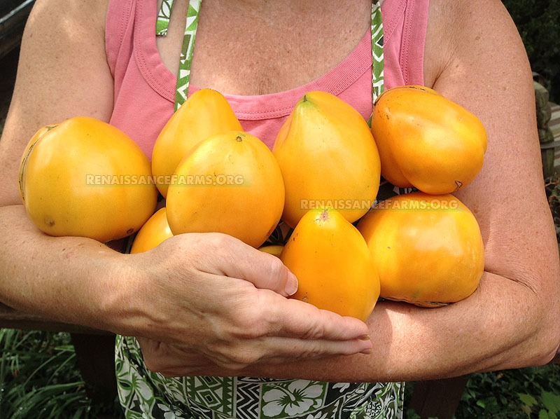 Tomato Heart Of Ashgabat Tomatoes Information