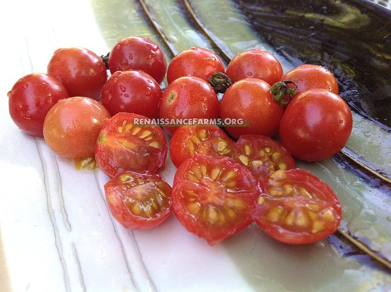 Wild Tomato Rot