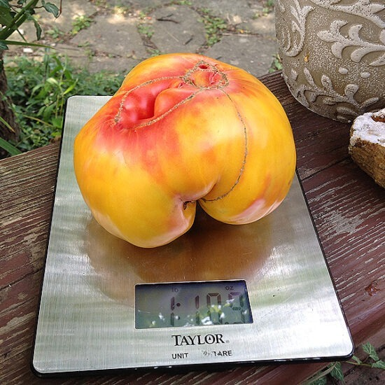 Williams Striped Tomato