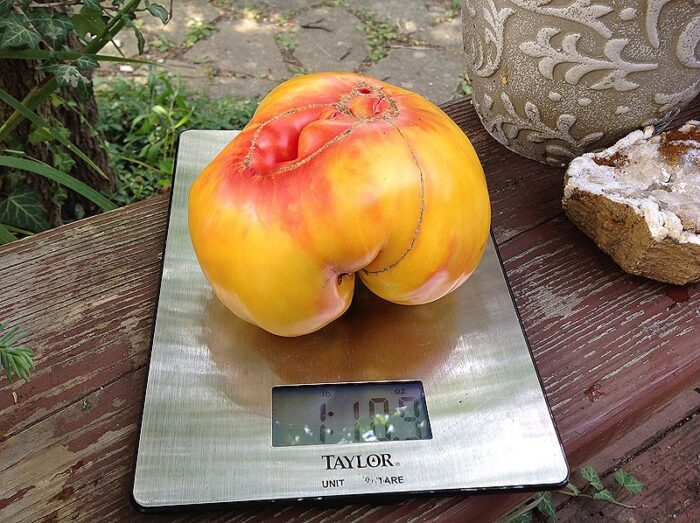 Williams Striped Tomato