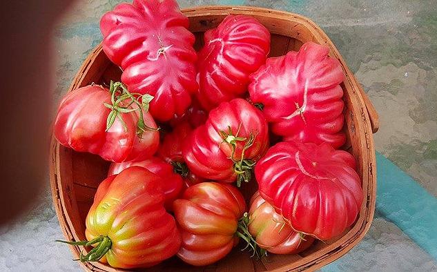 Zapotec Tomato Plants