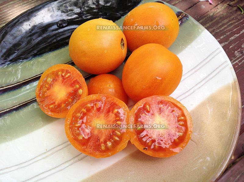 zlatava tomato