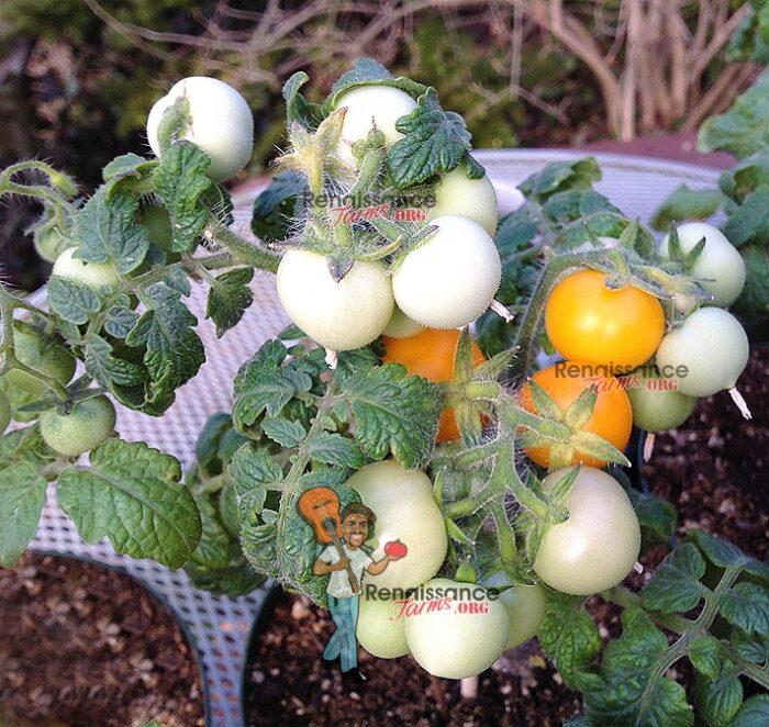 Aztek Micro Dwarf Tomato
