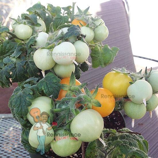 Aztek Micro Dwarf Tomato Plant