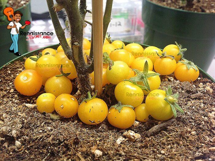 Aztek Micro Dwarf Tomatoes