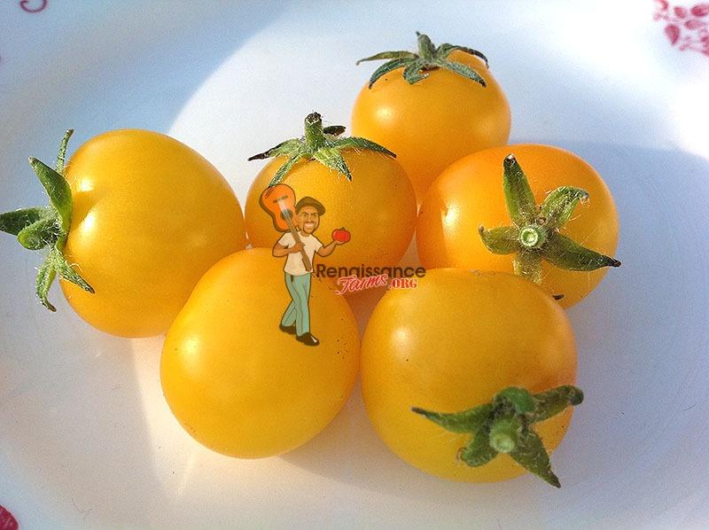 Aztek Micro Dwarf Tomatoes 2017