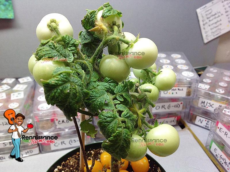 Aztek_Micro_Dwarf_Tomato_Green