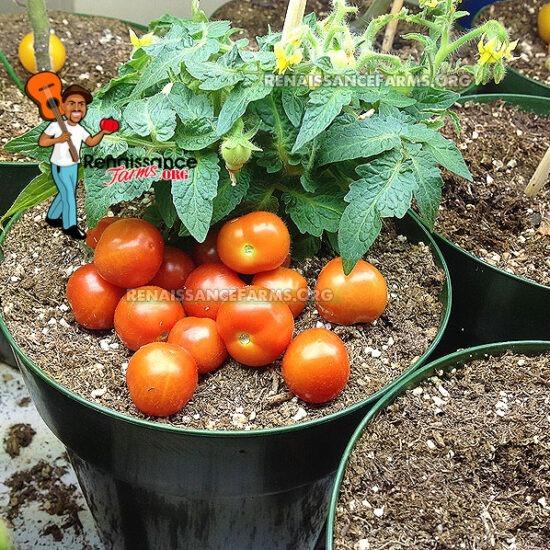 Baby Micro Dwarf Tomato
