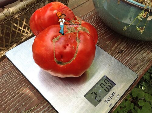 Giant Monster Tomato Large