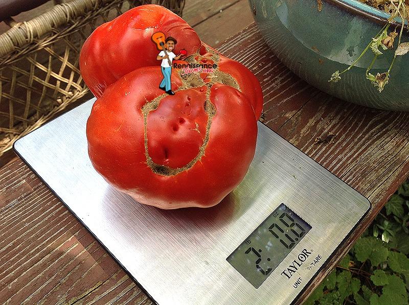 Giant Monster Tomato Large