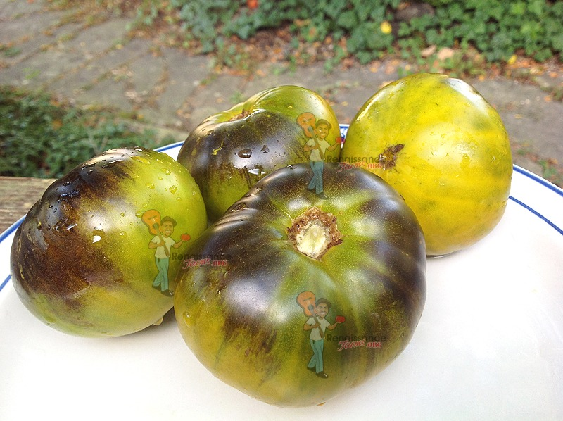 Great Blue Tomato