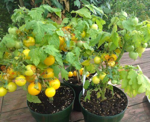 Micro Dwarf Tomatoes