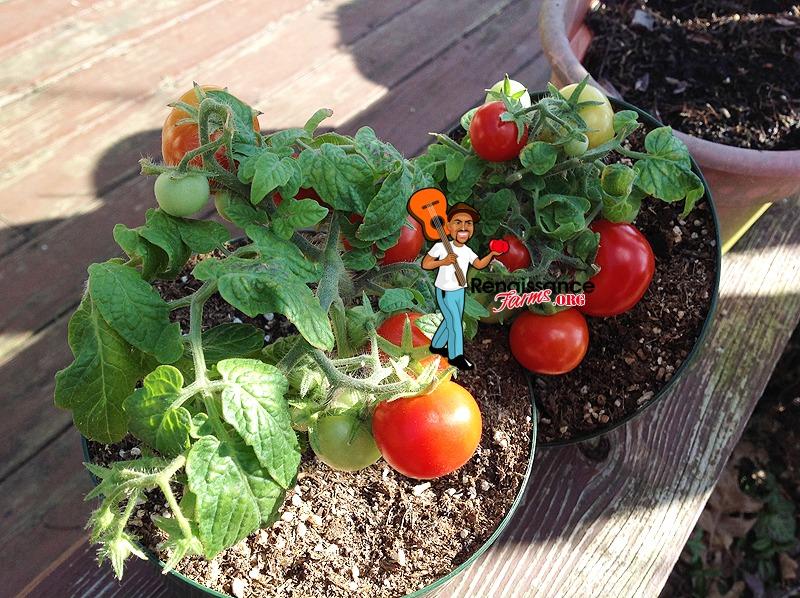 Micro Dwarf Andrina Tomato