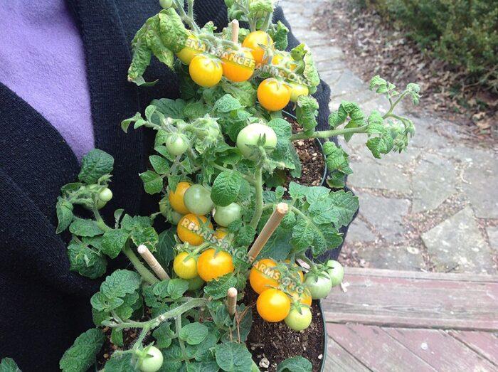 Micro Dwarf Pinocchio Tomato Plants