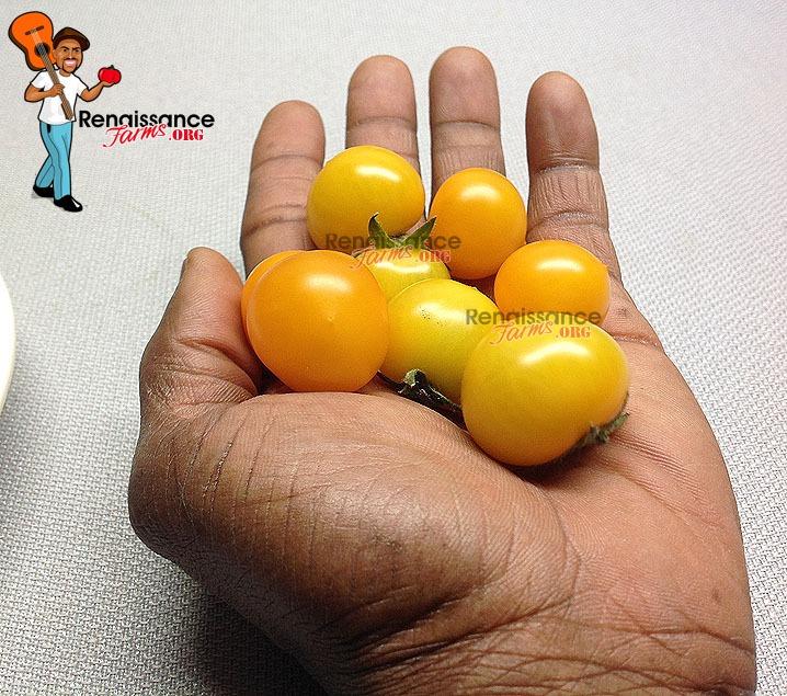 Tomato Aztek Tomato-Mini Tomato Seeds-Seeds-Dwarf Tomato 5