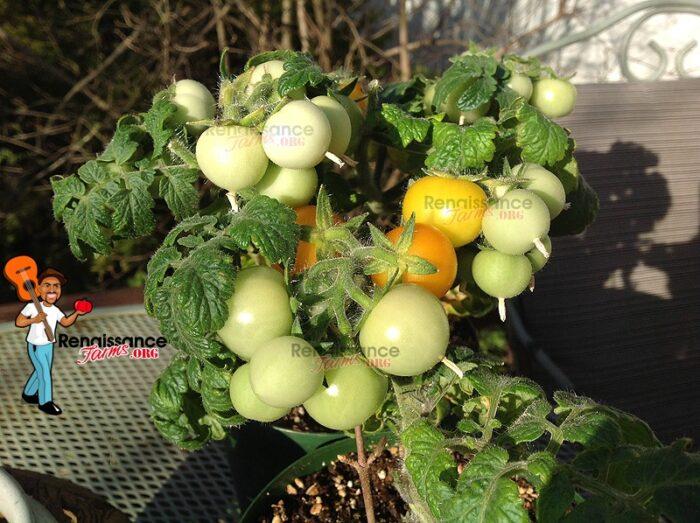 Micro Dwarf Tomato Aztek