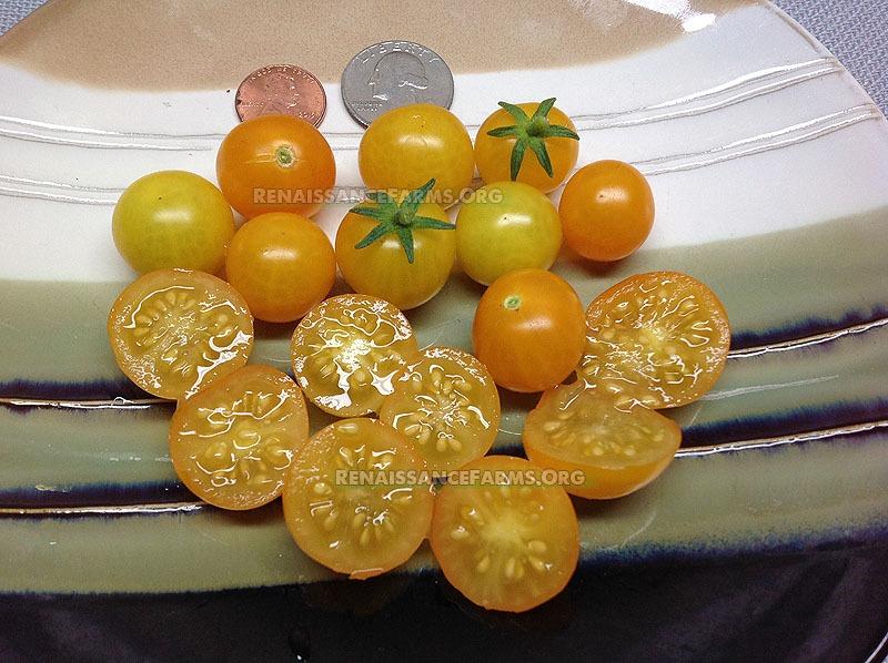 Pinocchio Dwarf Tomato Seeds