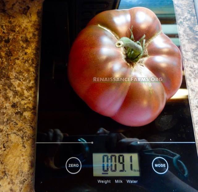 Rosella_Purple_Dwarf_Tomatoes