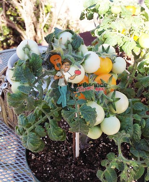 Tomato Aztek Micro Dwarf