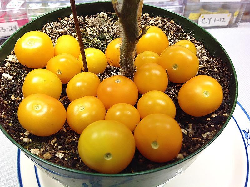 Tomato_Aztek_Micro_Dwarf