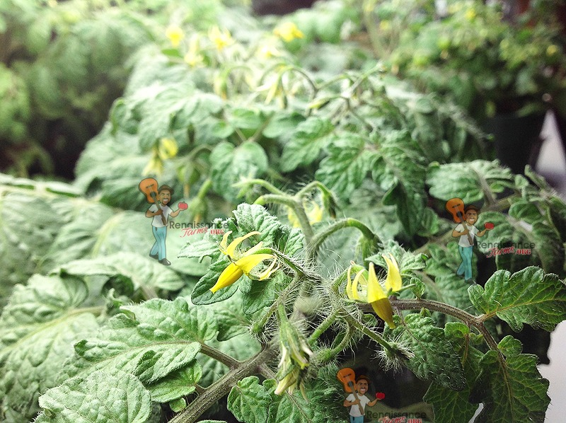 Micro Dwarf Tomato Plant Blooming 2018
