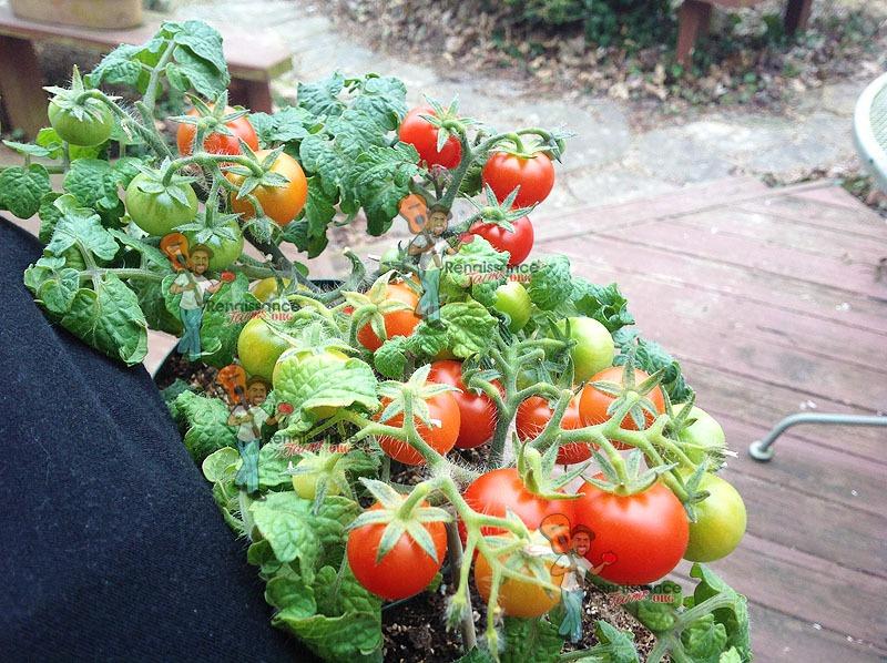 Red Micro Dwarf Tomato