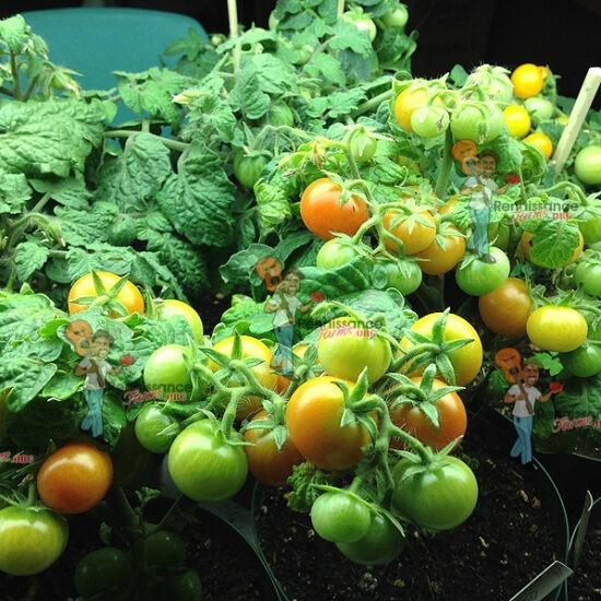 Rejina Red Micro Dwarf Tomato