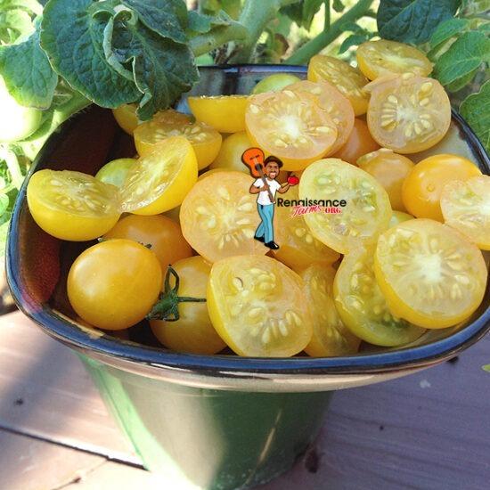 Venus Miniature Dwarf Tomato