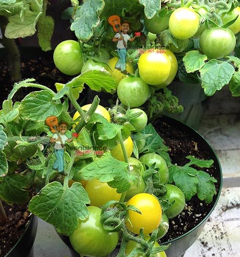 Rejina Yellow Micro Dwarf Tomato