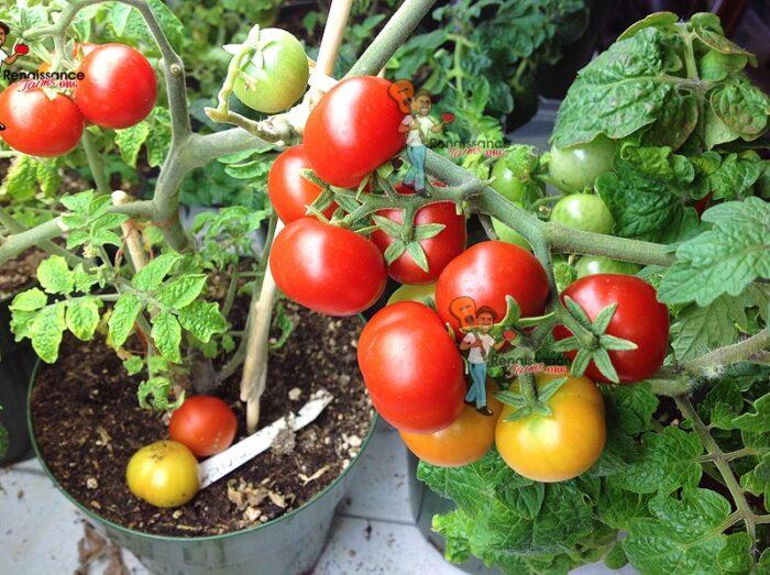 Chibikko_Micro_Dwarf_Tomato