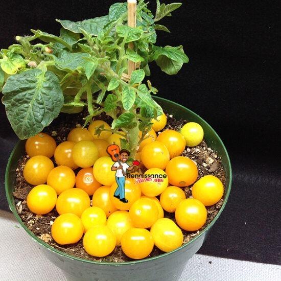 Jochalos Micro Dwarf Tomato