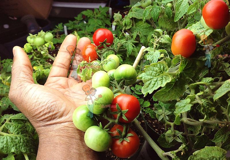 Chibikko Micro Dwarf Tomato