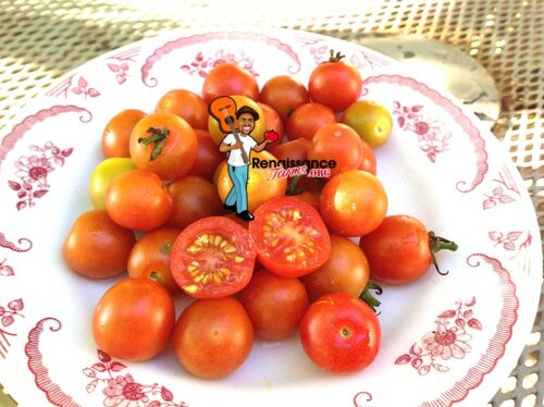 Iva's Red Berry Tomato
