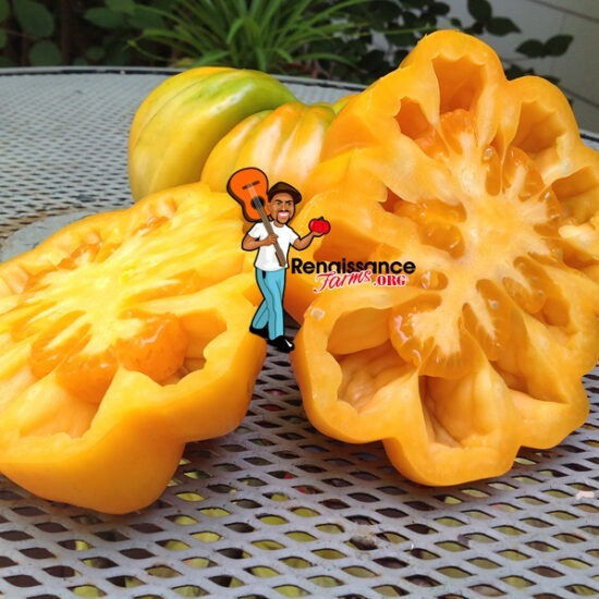 Accordion Orange Tomato 2018