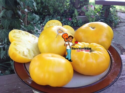 Dwarf Egypt Yellow Tomatoes