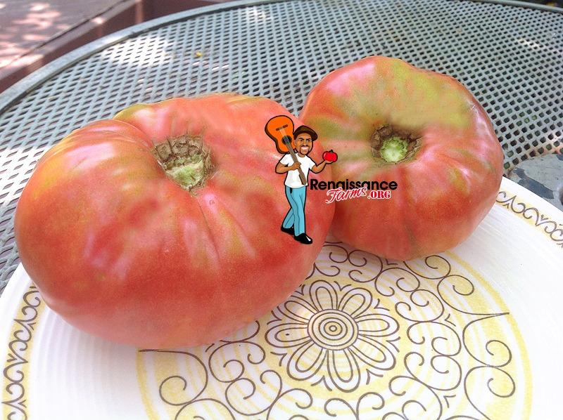 Giant Belgium Tomato 2018