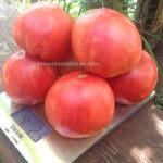 Heirloom Tomato Rose