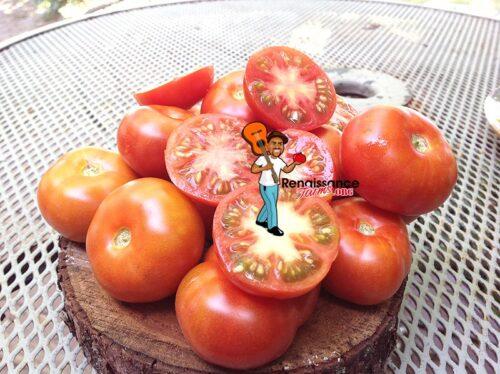 Red Calabash Tomato