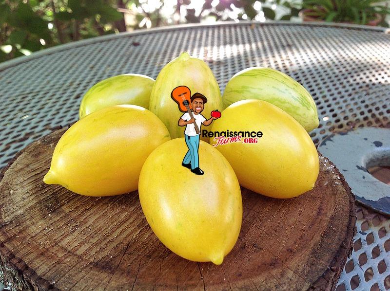 Yellow Taste Tomato Fred Hempel