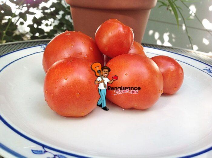 Bejing-Zao-Shu-Tomato